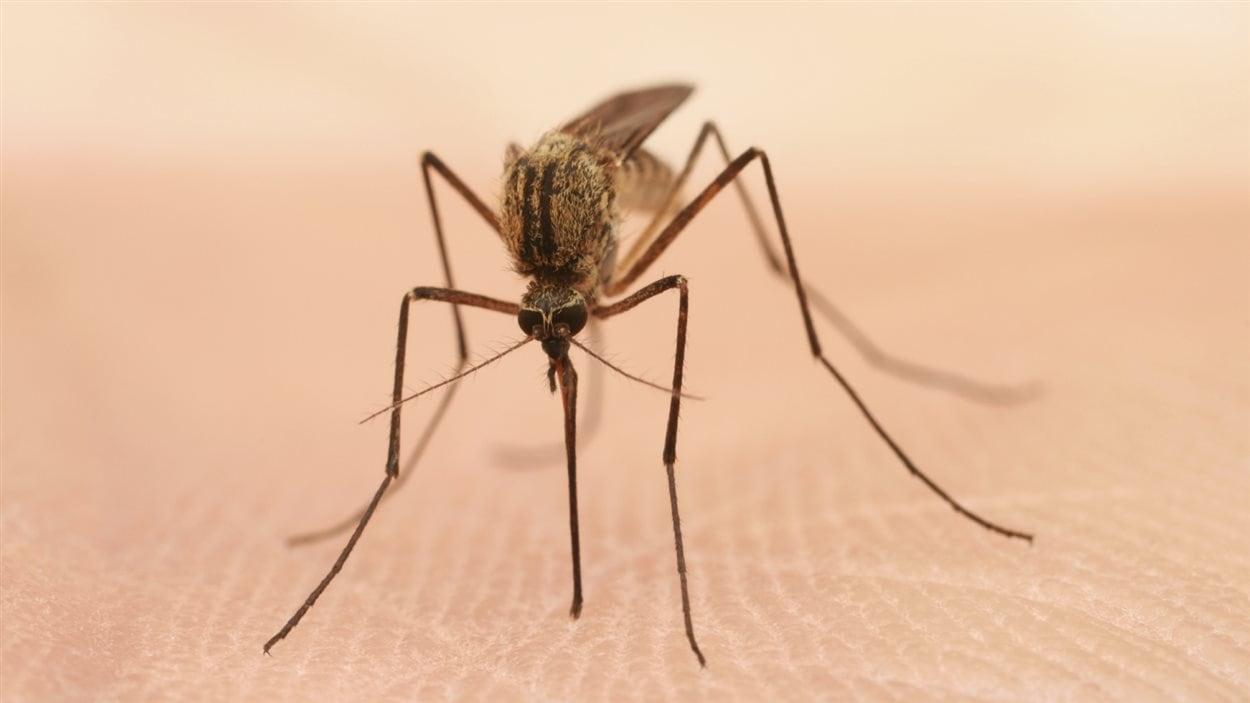 Le moustique peut transmettre le virus du Nil à l'être humain.