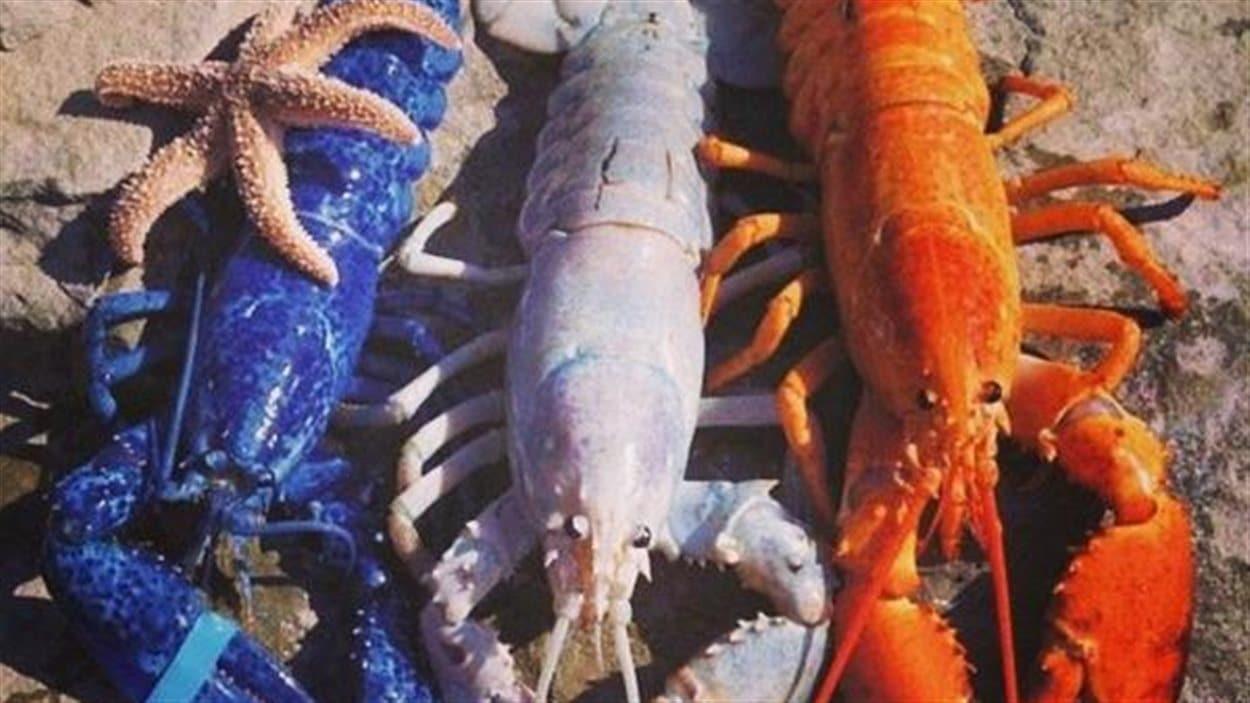 Des homards aux couleurs de l'Acadie