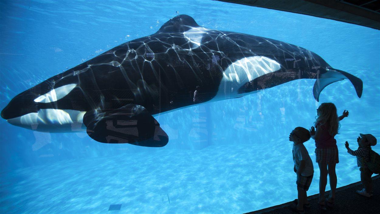 Un orque nage dans son bassin au parc SeaWorld de San Diego sous le regard de jeunes enfants.