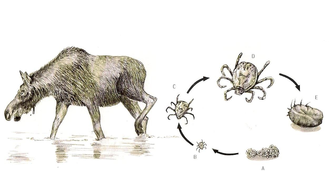 Le cycle de vie de la tique d'hiver