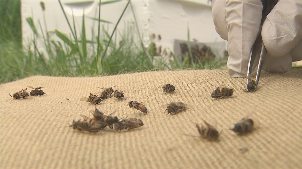 Des abeilles mortes