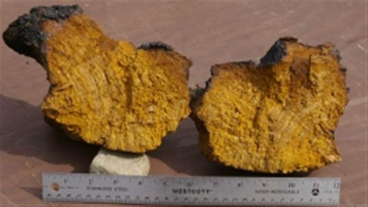 chaga-champignon-forets