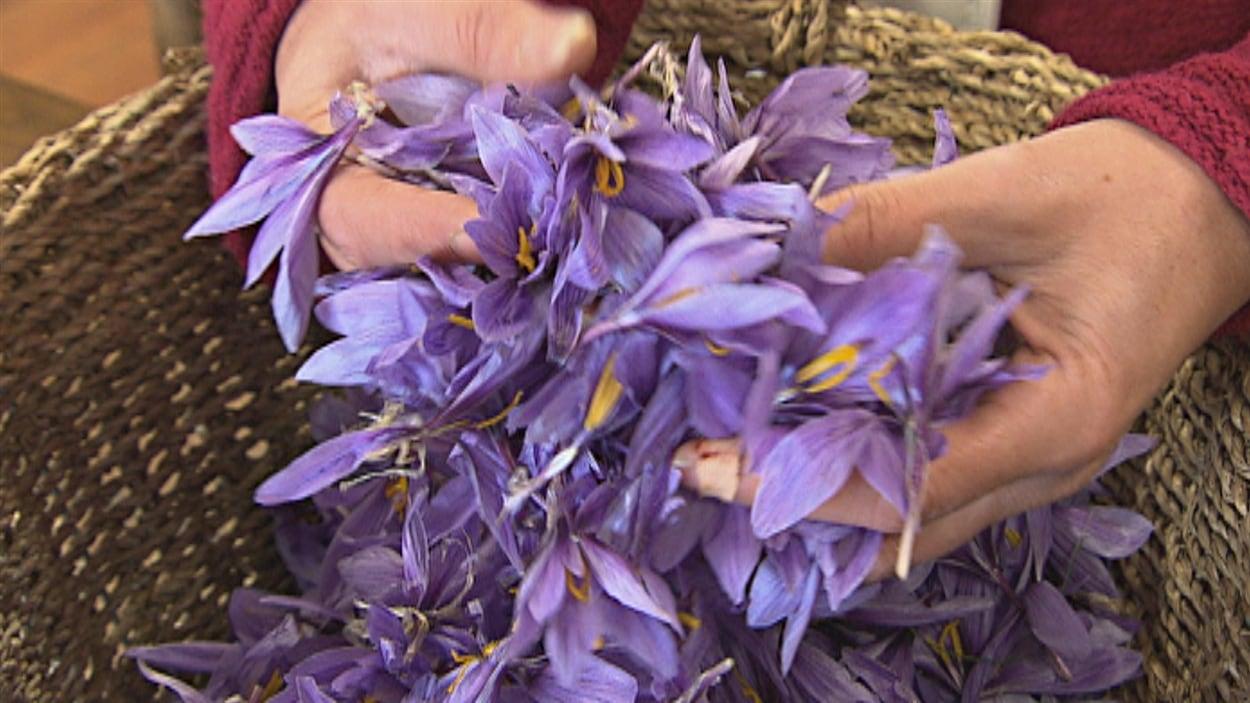 Des fleurs de safran