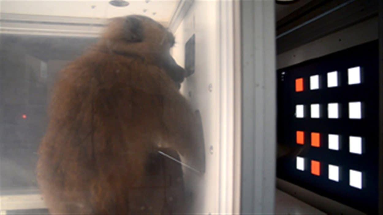 Un babouin utilisant l'écran tactile.