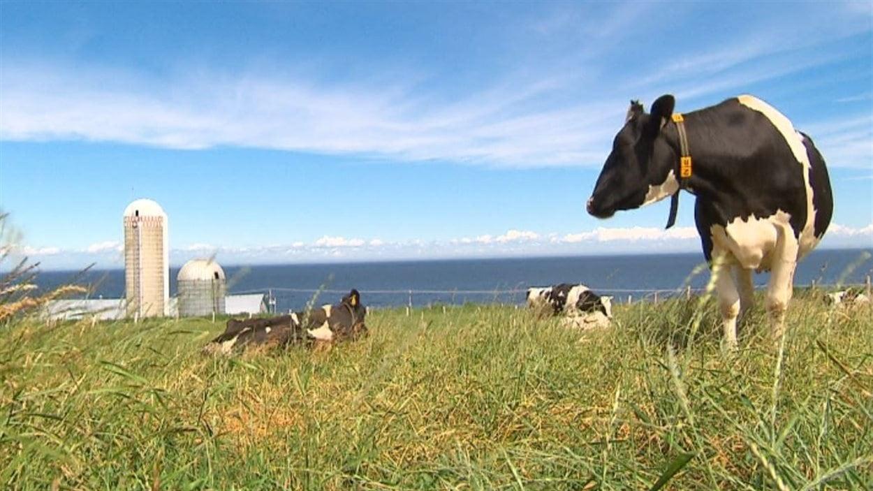 Des vaches sur une ferme laitière du Québec.