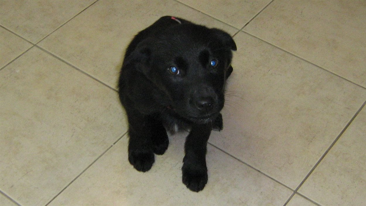 La SPCA de Val-d'Or offre son aide pour le transfert à Toronto d'une douzaine de chiens abandonnés dans le Nord-du-Québec.