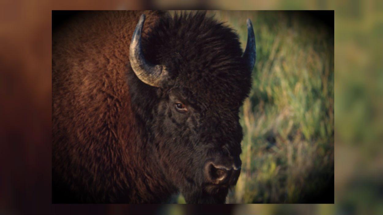 La population de bisons est estimée à 1 470 bêtes au Yukon.