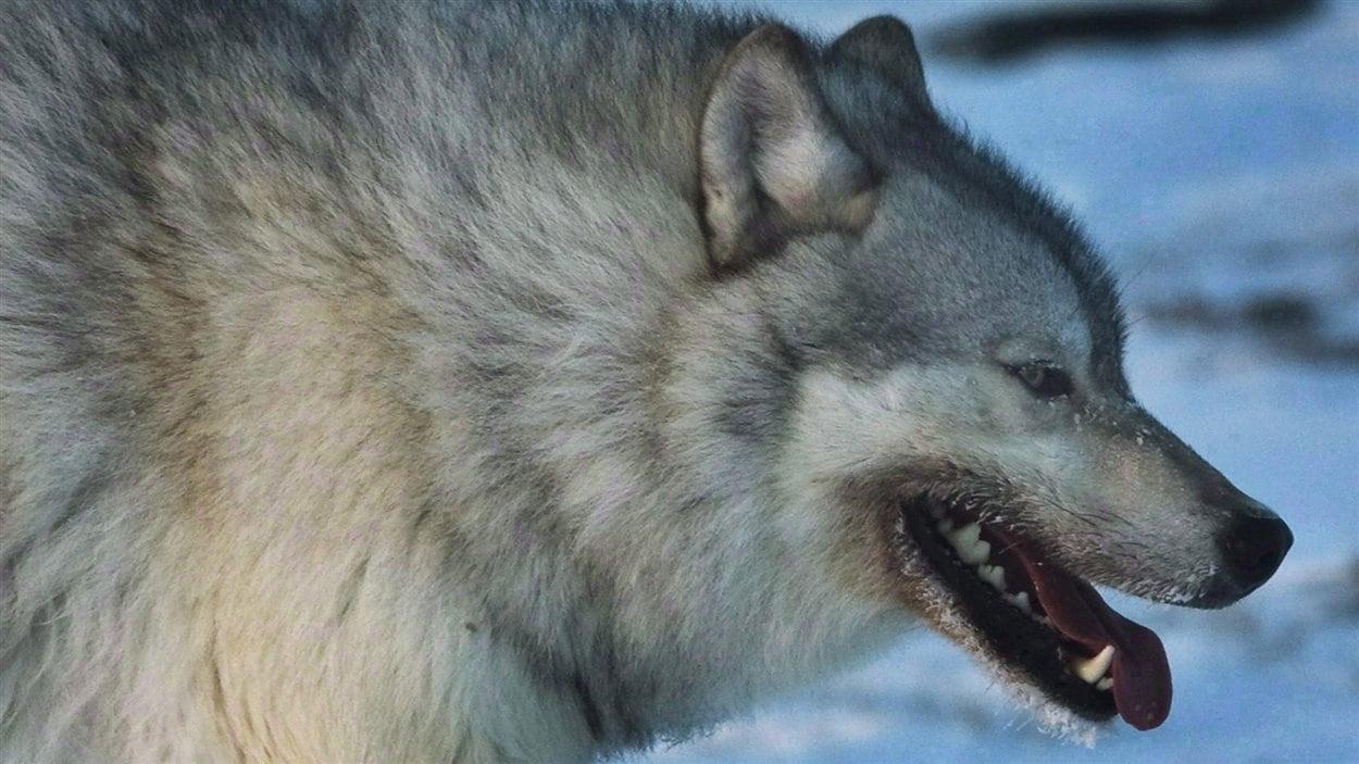 Un loup adulte dans la toundra canadienne, en mars 2009