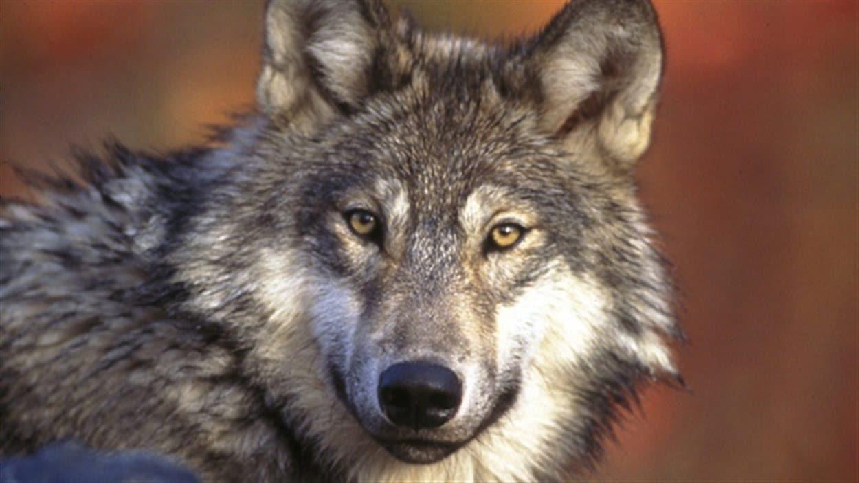 Photo d'un loup.