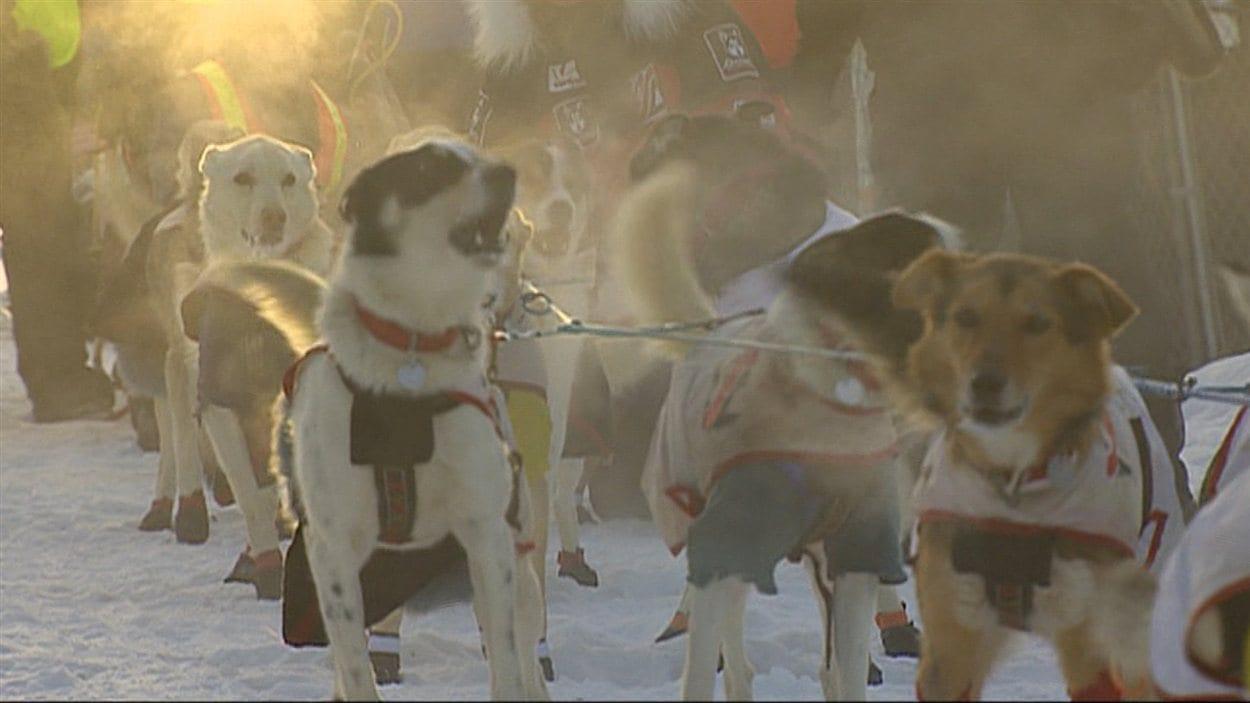 Des chiens à la ligne de départ du Yukon Quest 2015