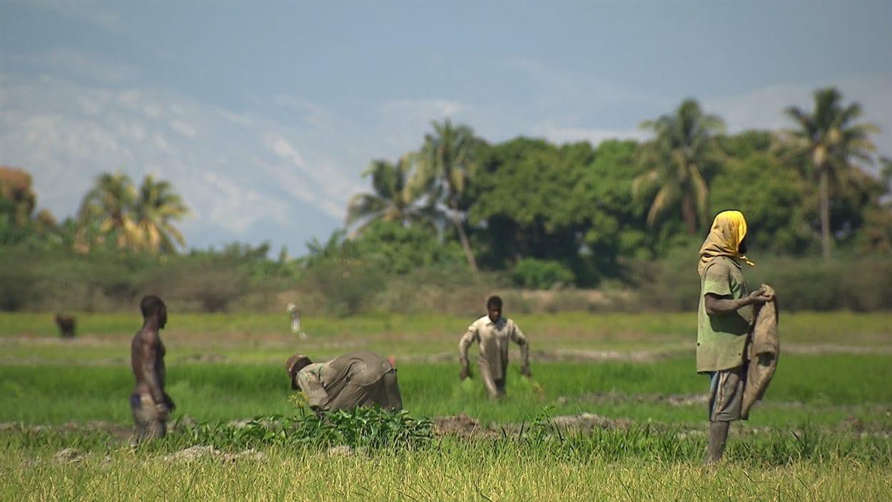 Des travailleusrs agricoles en Haïti