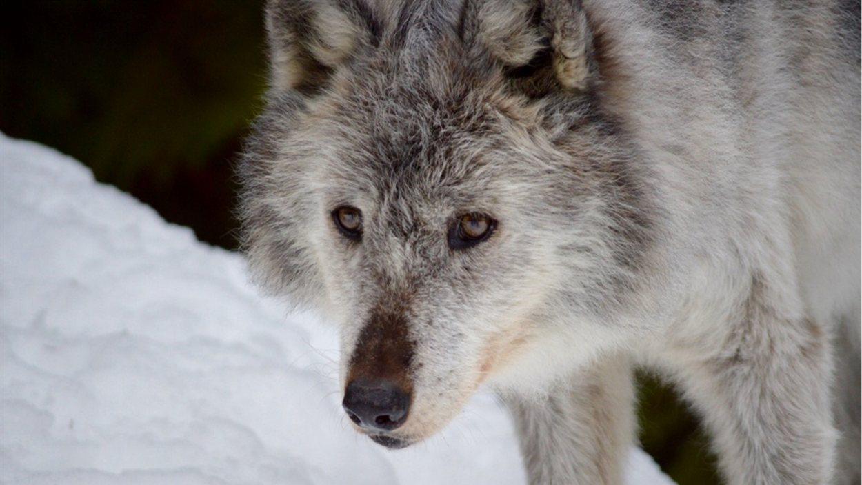Photo d'un loup au centre Northern Lights Wildlife.