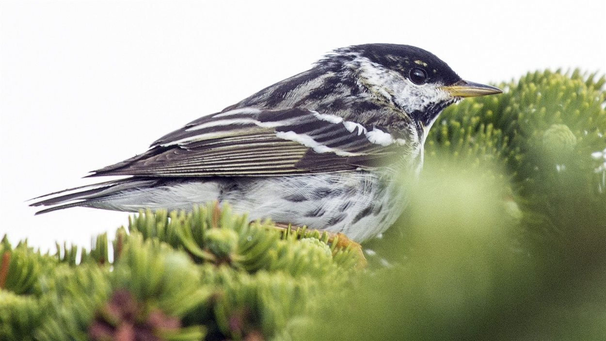 La paruline rayée survole chaque hiver près de 2800 km d'océan en deux ou trois jours de la Nouvelle-Écosse aux Caraïbes.