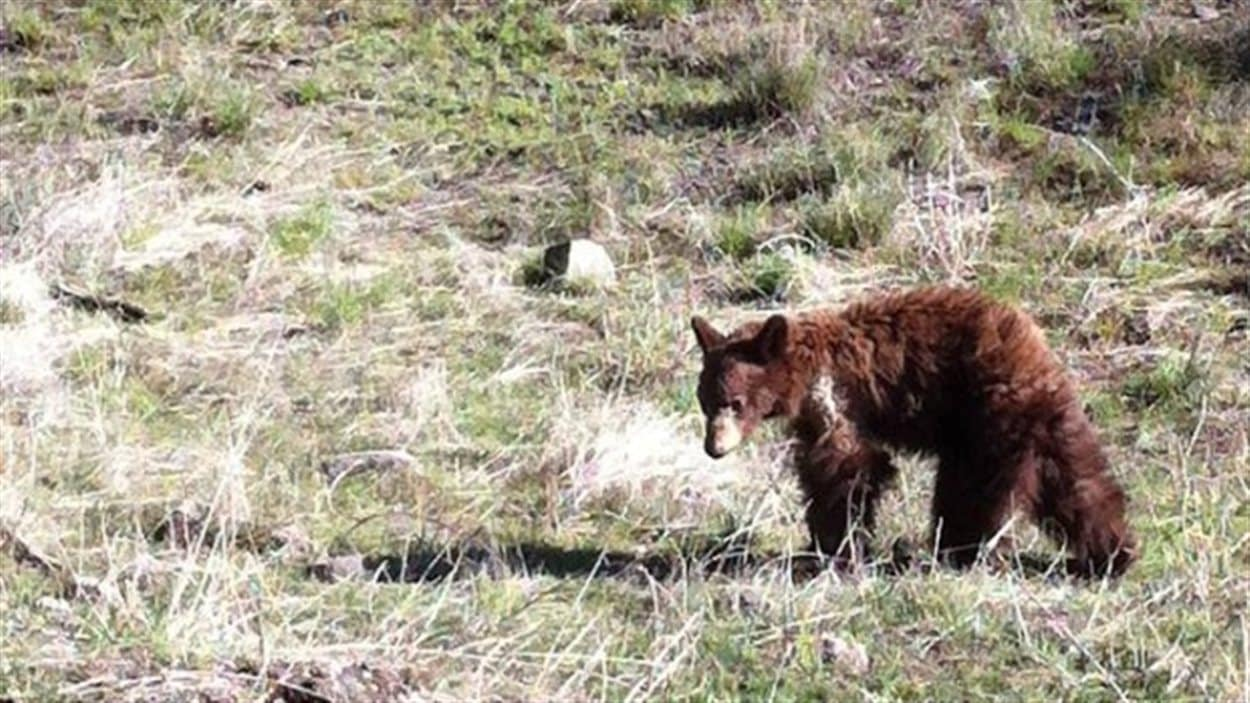 Le jeune ours qui a été aperçu en train de s'approcher des véhicules près de Kamloops, en Colombie-Britannique.