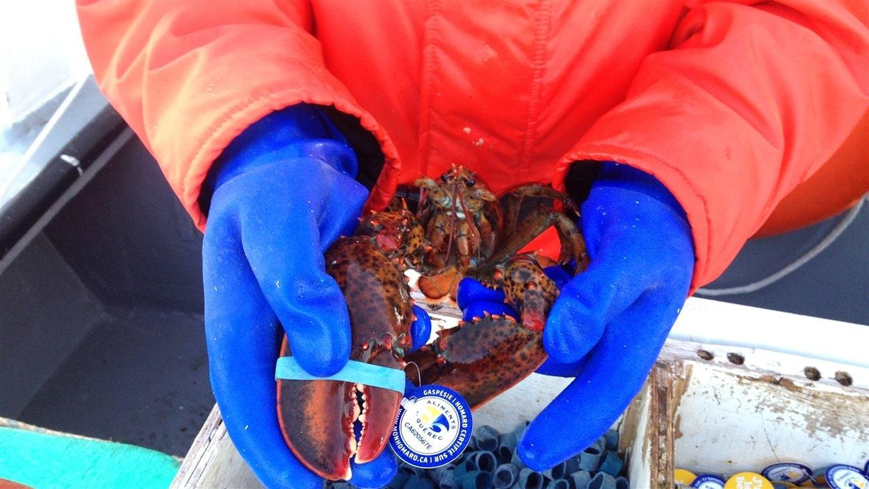 Un homard fraîchement pêché dans les mains de Gloria Shaw