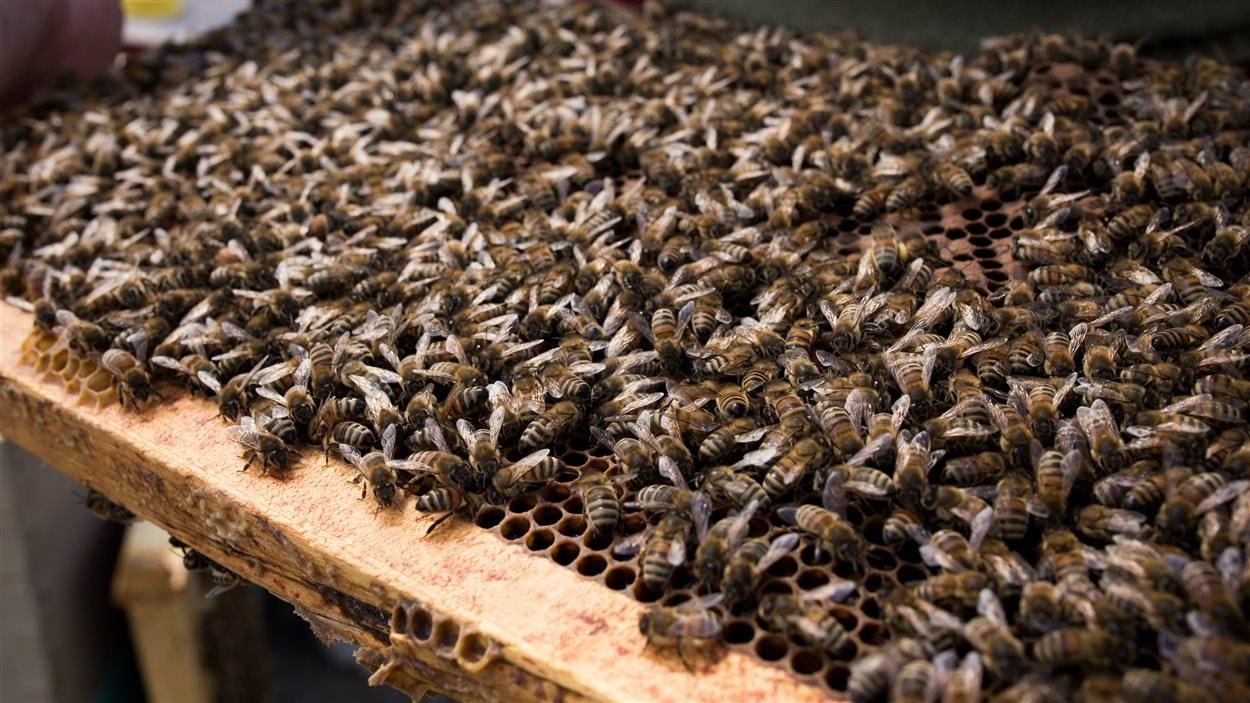 Yves Garez possède plusieurs centaines de milliers d'abeilles.