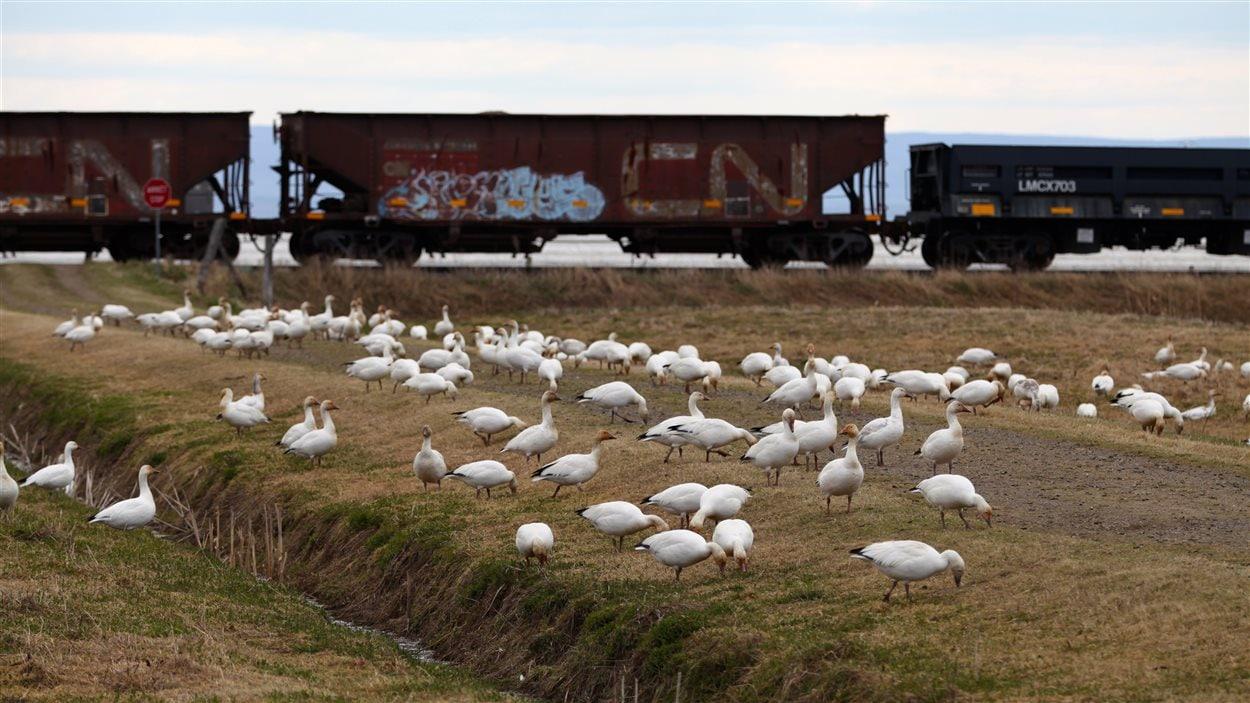 Oies blanches au Cap Tourmente