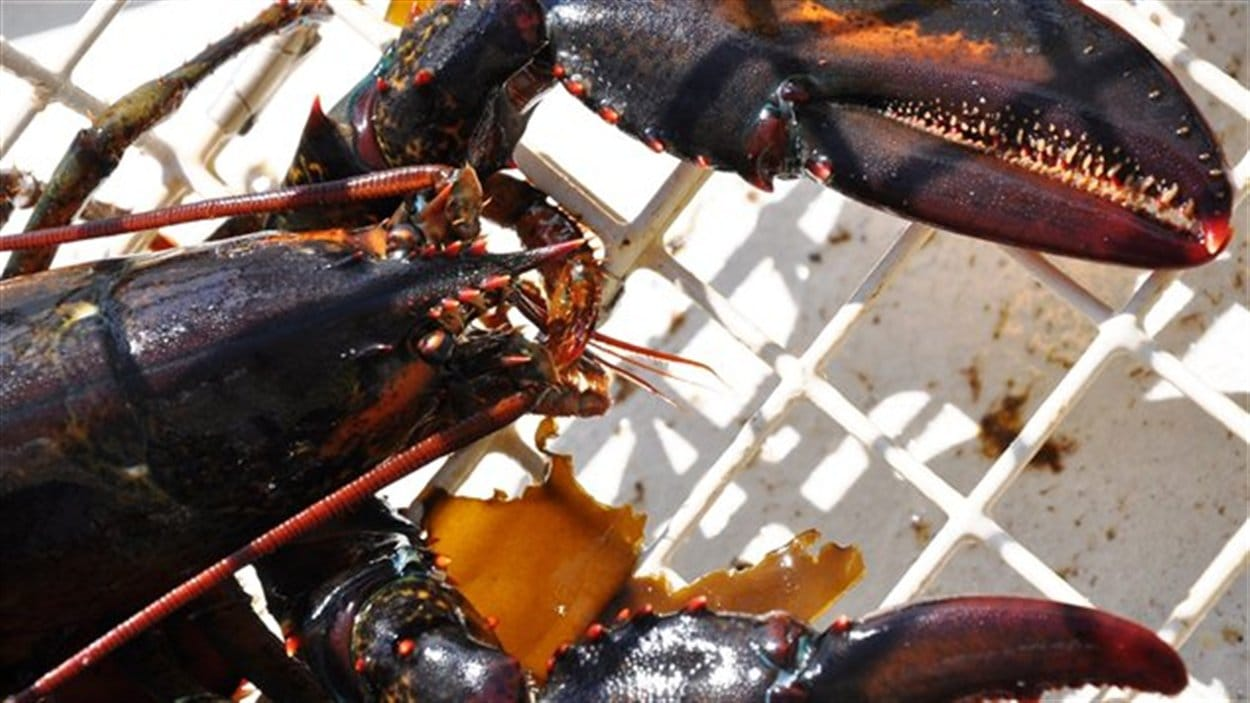 Saison de la pêche au homard 2015