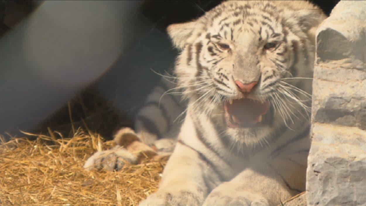 Le tigre blanc du Zoo de Falardeau