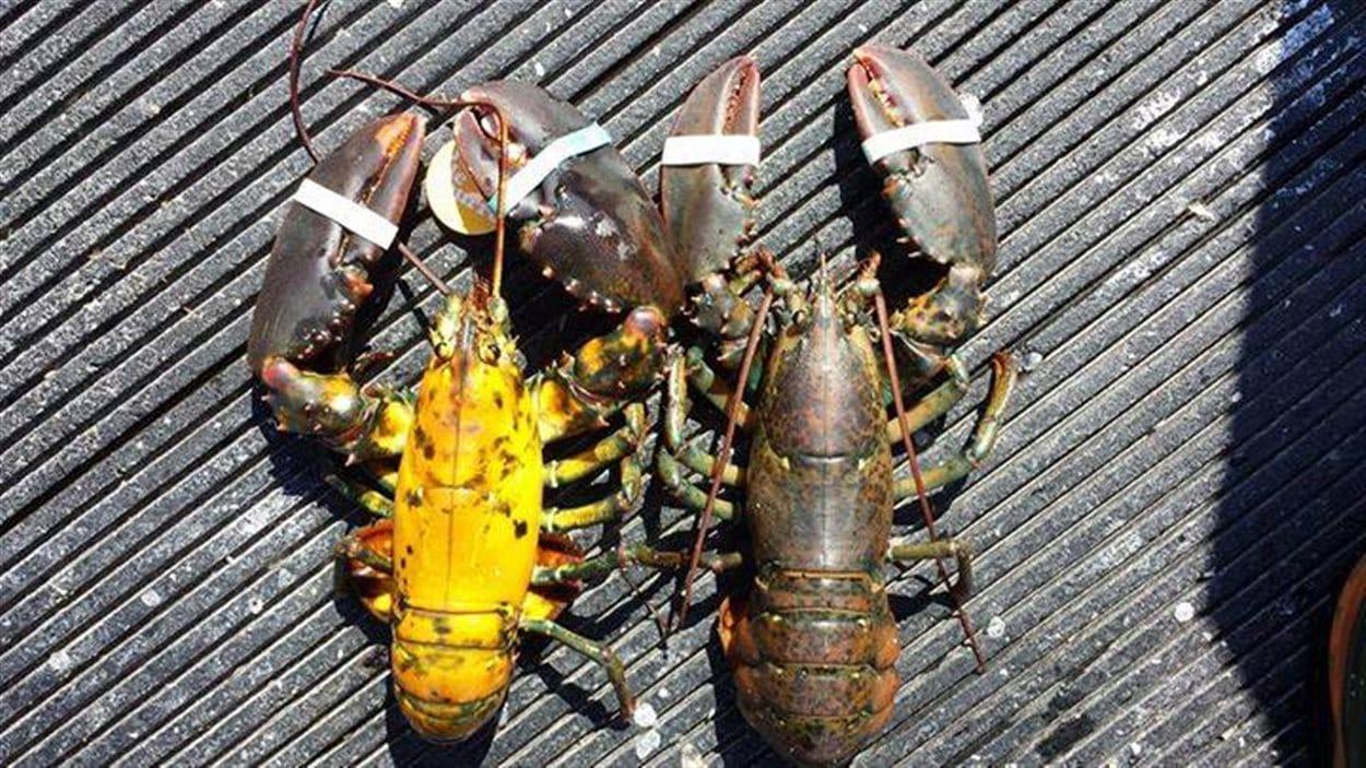 Le homard jaune, pêché par Guy Desbois sur la bateau Joey-Jolianne