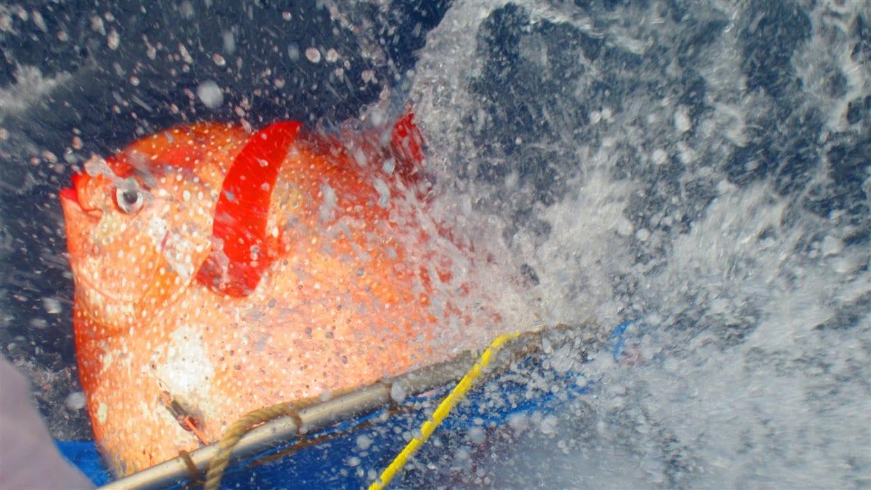 Un opah dans lequel les chercheurs ont placé des thermomètres électroniques est remis à l'eau au large de la Californie.