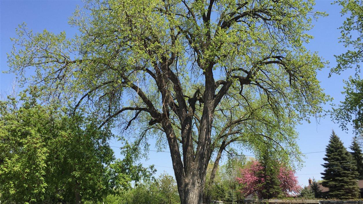 La ville de Winnipeg croit que ce peuplier d'amérique situé dans le quartier Pointe Douglas est l'arbre le plus grand dans la capitale manitobaine.