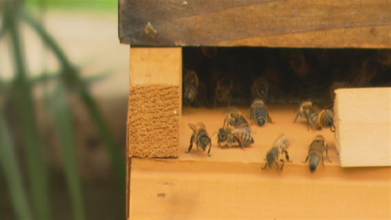 Abeilles à l'entrée de la ruche