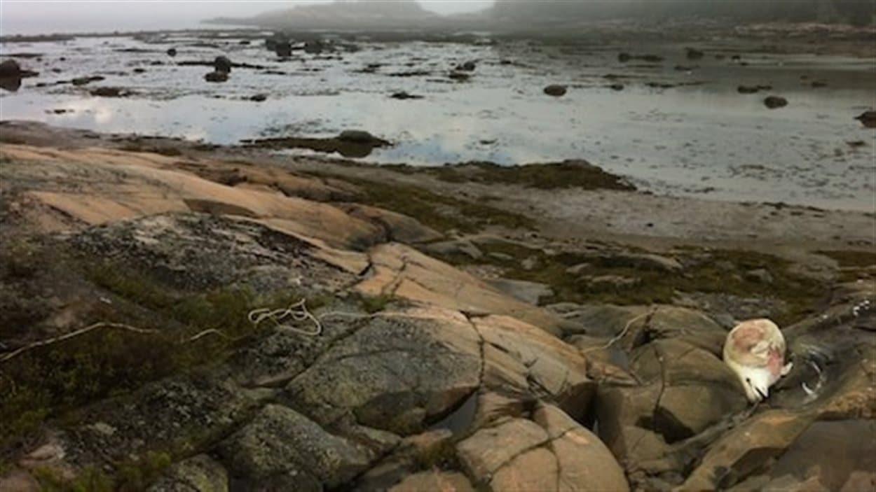 Il s'agit de la deuxième carcasse de béluga retrouvée sur les berges du Saint-Laurent depuis le début de l'année.