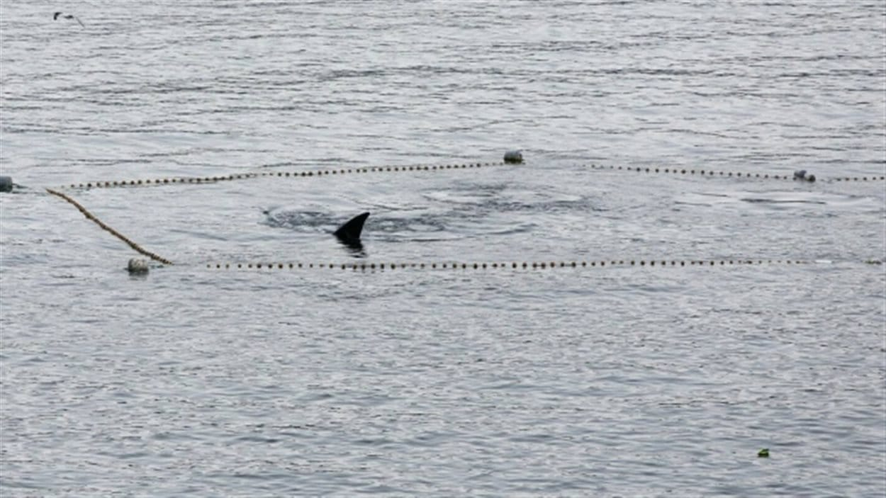 Une baleine franche de l'Atlantique Nord prise dans un filet de pêche au Cap-Breton.