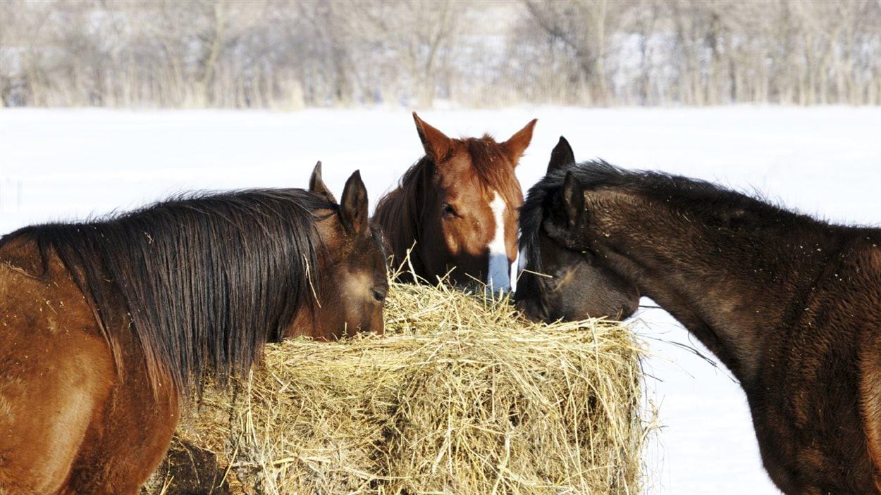 Des chevaux mangent à l'extérieur l'hiver