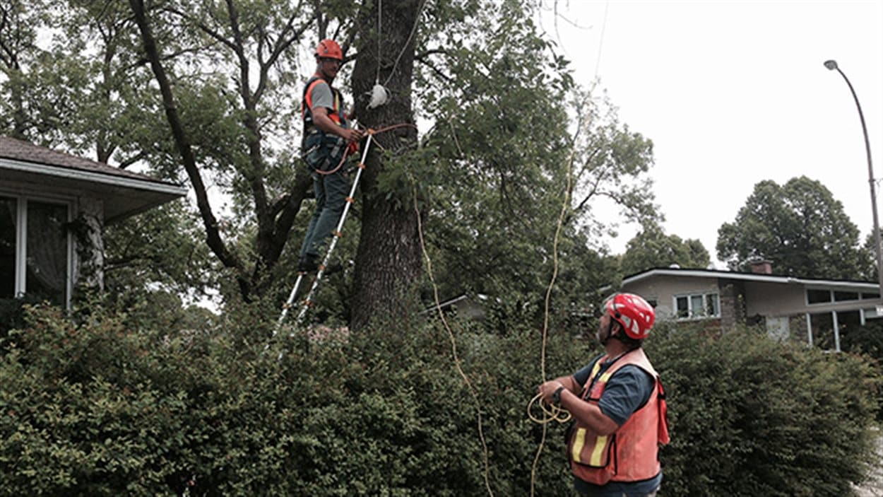 Des chercheurs inspectent les arbres touchés par l'agrile du frêne