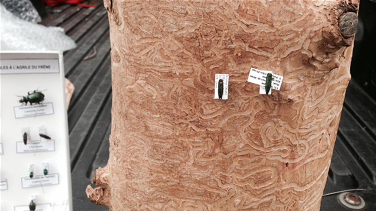 Les marques que laisse l'agrile du frêne sur l'arbre malade