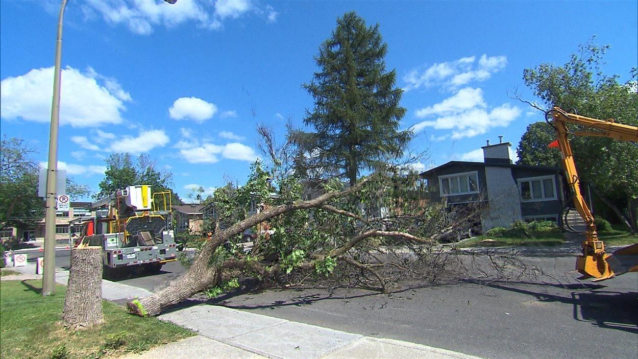 Un arbre abattu afin de prévenir la propagation de l'agrile du frêne.