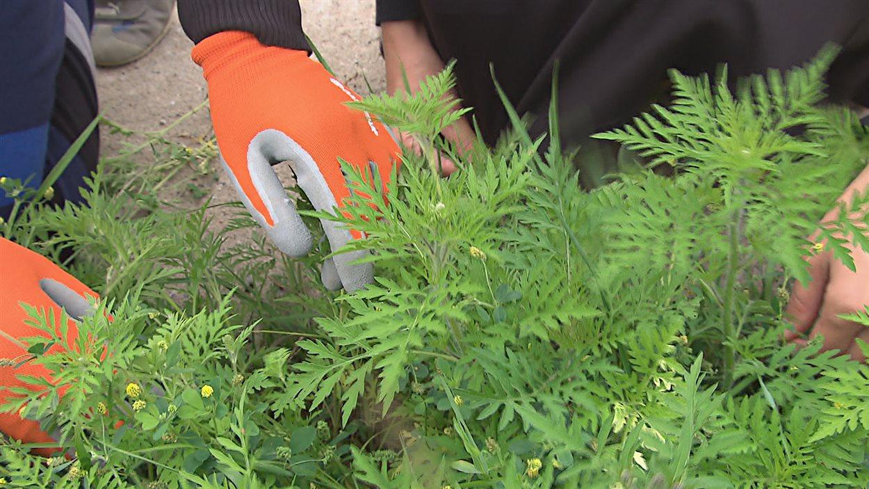 Les feuilles de l'herbe à poux ressemblent à un plant de carottes.