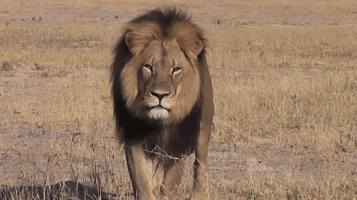 Le lion Cecil du Zimbabwe était reconnaissable à sa crinière noire.