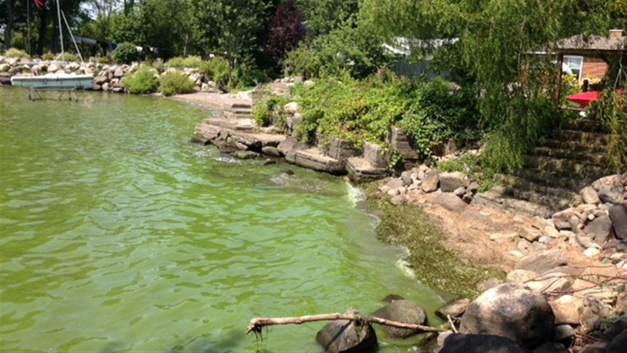 Des algues bleu-vert sur les rives de la baie Missisquoi