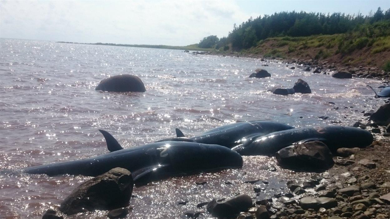 Selon Andrew Reid, ces baleines ont probablement échoué lors de la marée basse.