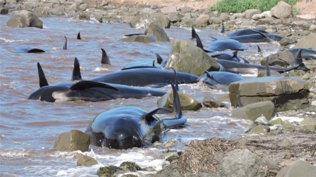 16 baleines-pilotes échouées en Nouvelle-Écosse.