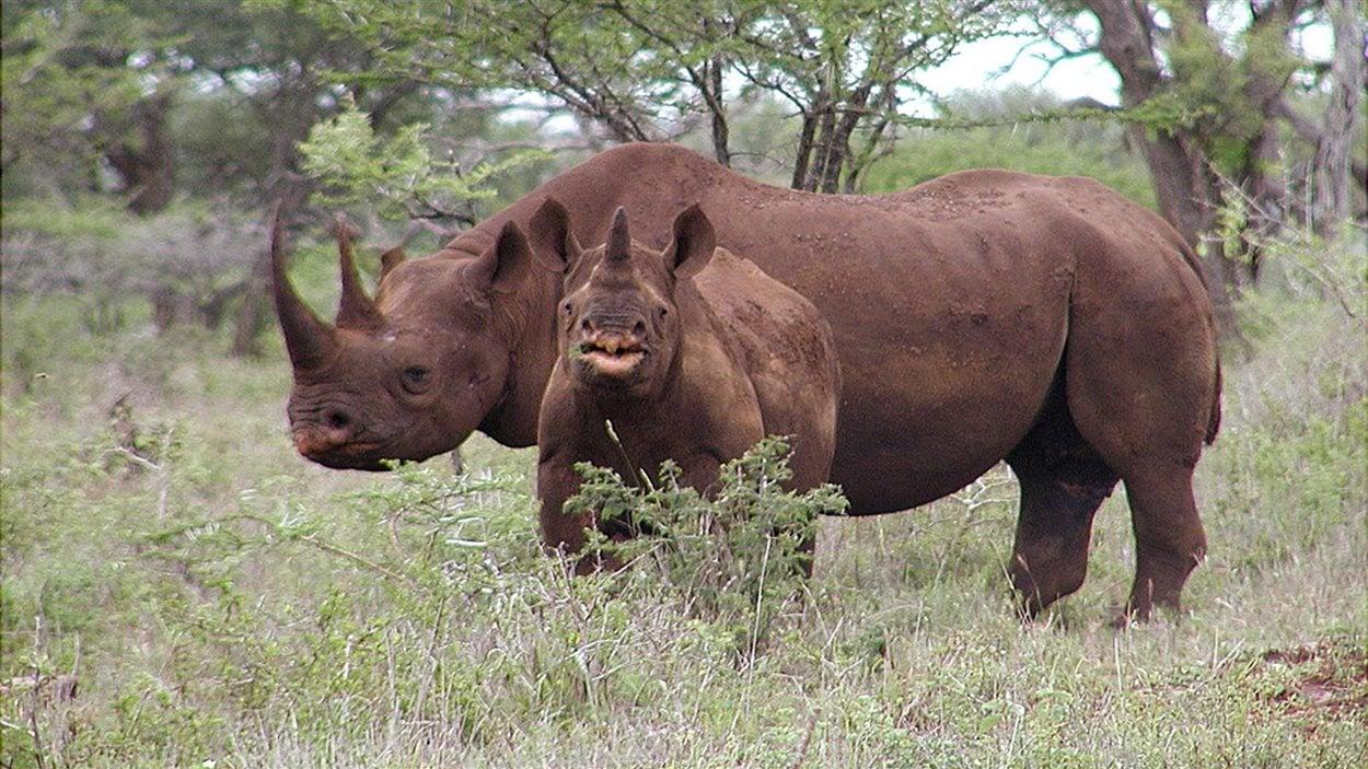 Des rhinocéros en Afrique du Sud (photo prise en janvier 2003)