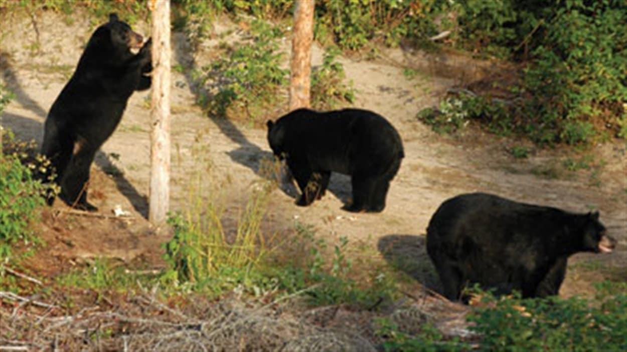 La présence d'ours noirs est signalée à L'Ange-Gardien.