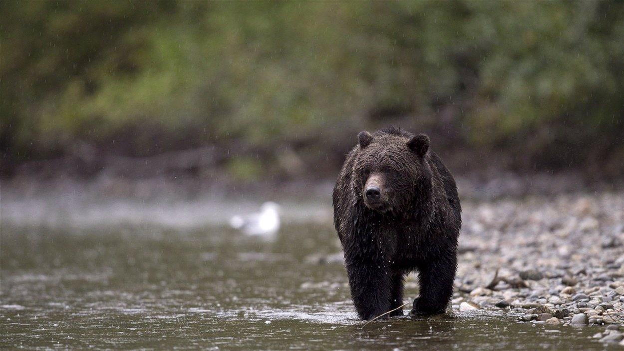 Un grizzly qui marche dans l'eau