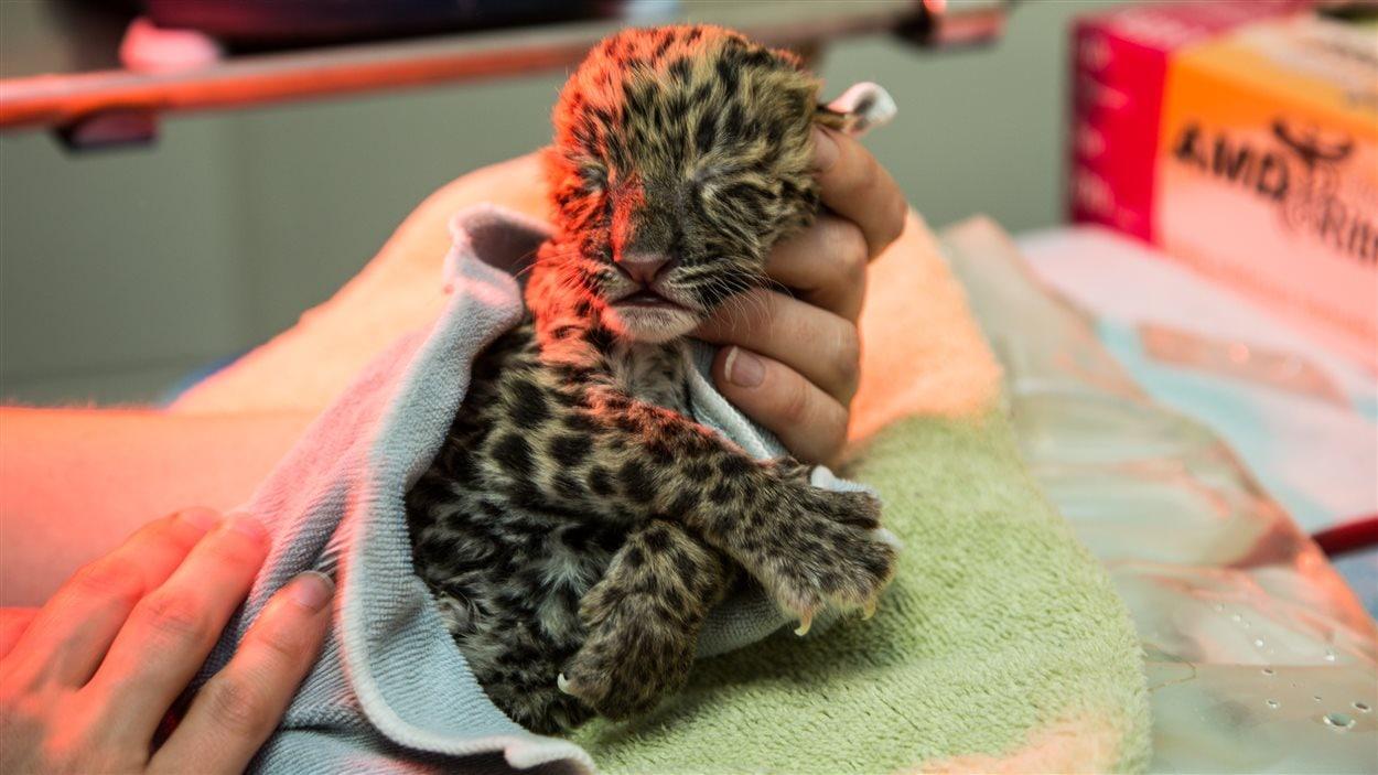 L'un des deux petits léopards.