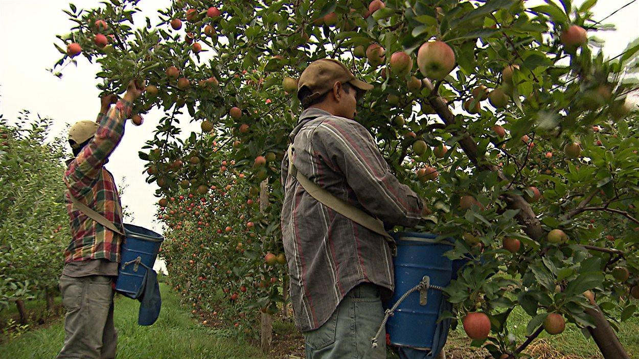 Des travailleurs guatémaltèques récoltent des pommes.