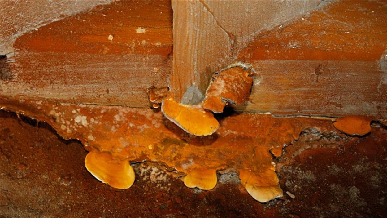 La mérule pleureuse est un champignon qui attaque les maisons