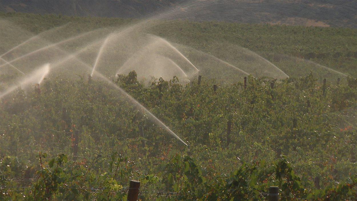 Des vignes arrosées dans la vallée de l'Okanagan