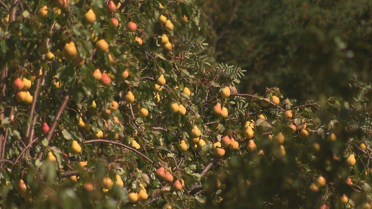 La saison des poires est bonne cette année