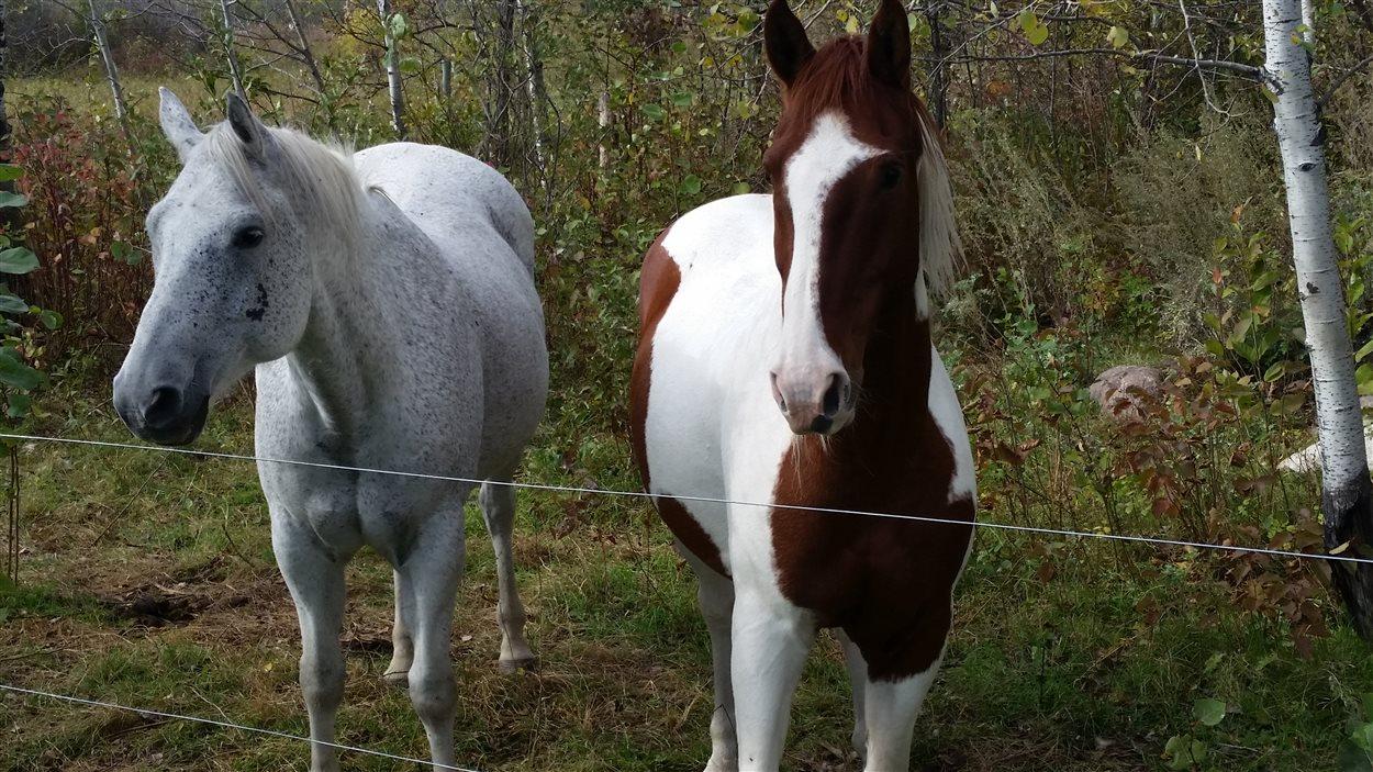 Les chevaux Zam et Gunner