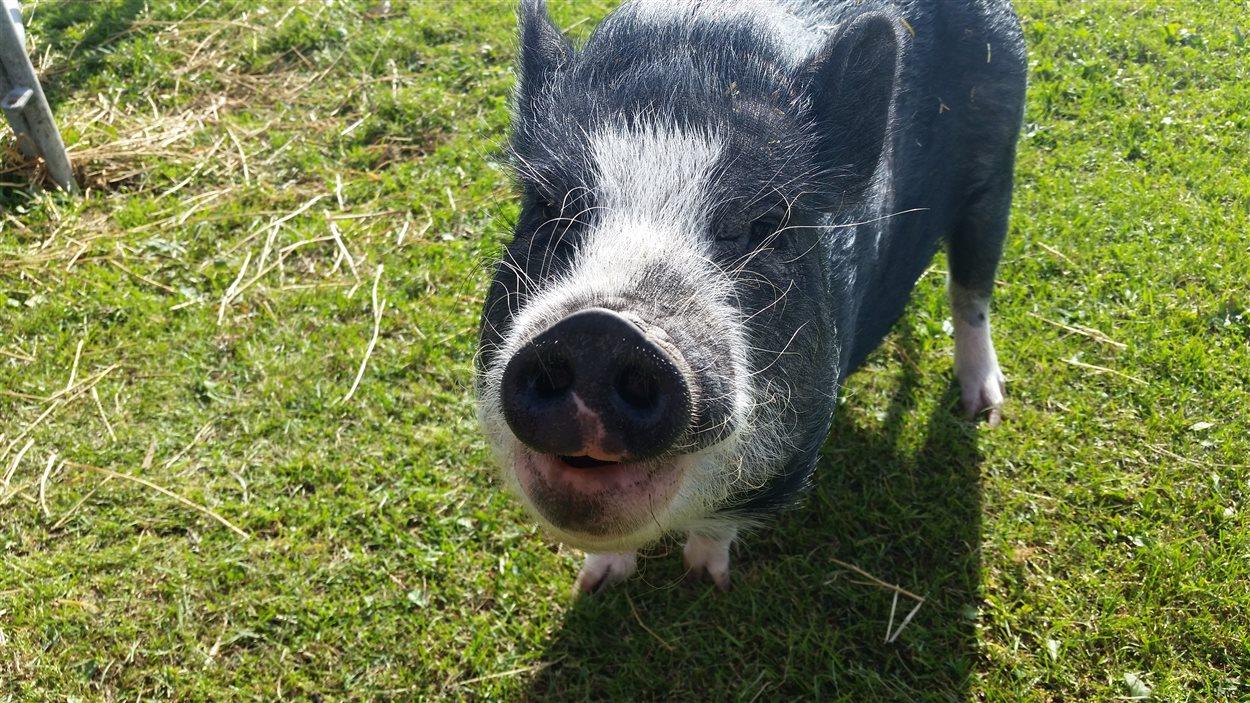 Le cochon Bacon qui aime beaucoup manger du bacon