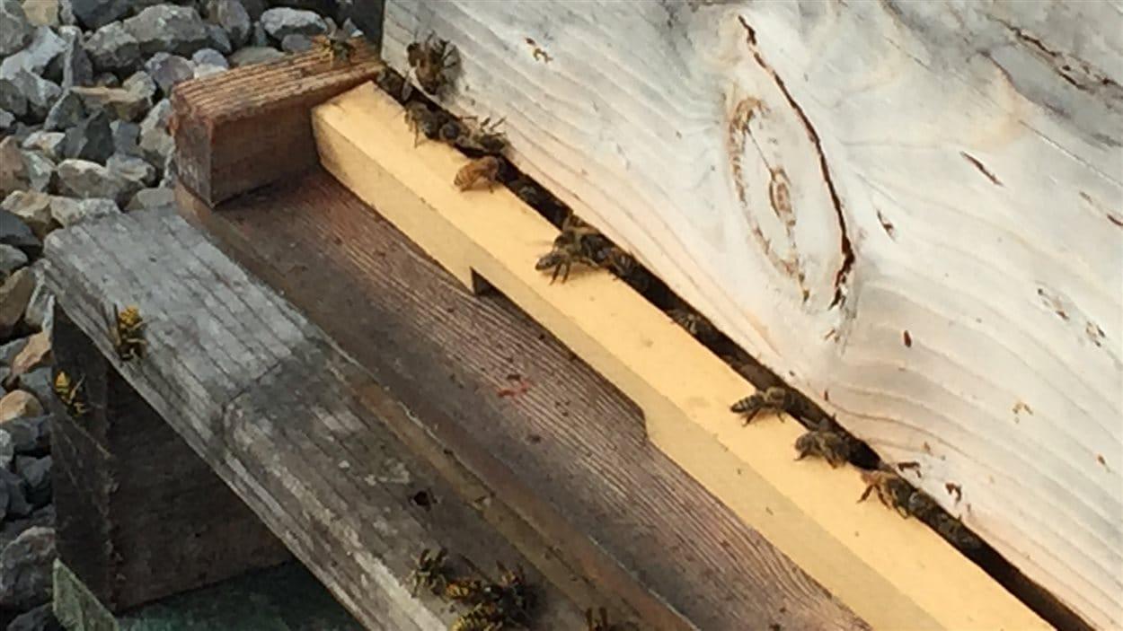 Des ruches servent d'outil de réinsertion pour des hommes logeant à l'Accueil Bonneau.