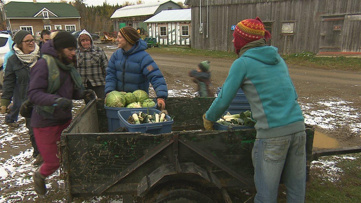 Des bénévoles récoltent des légumes pour la banque alimentaire Moisson-Rimouski-Neigette